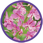 Fireweed Wildflowers