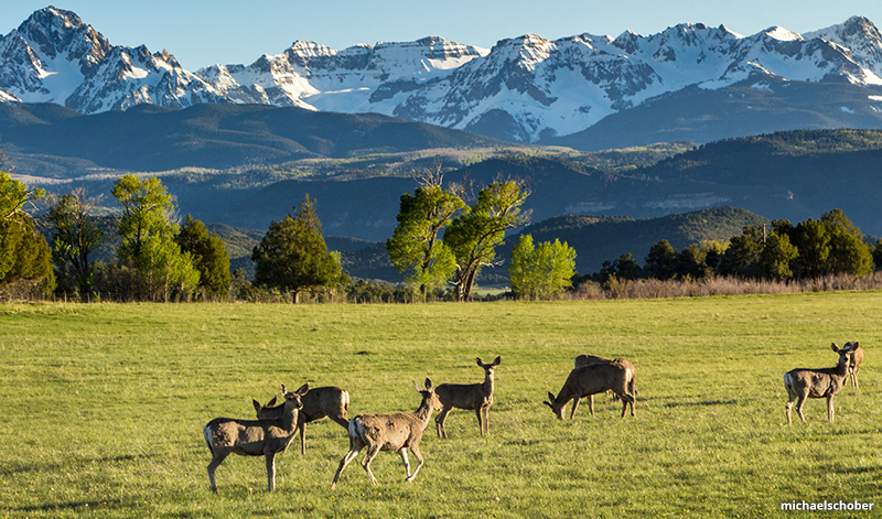 Deer in Ridgeway Colorado