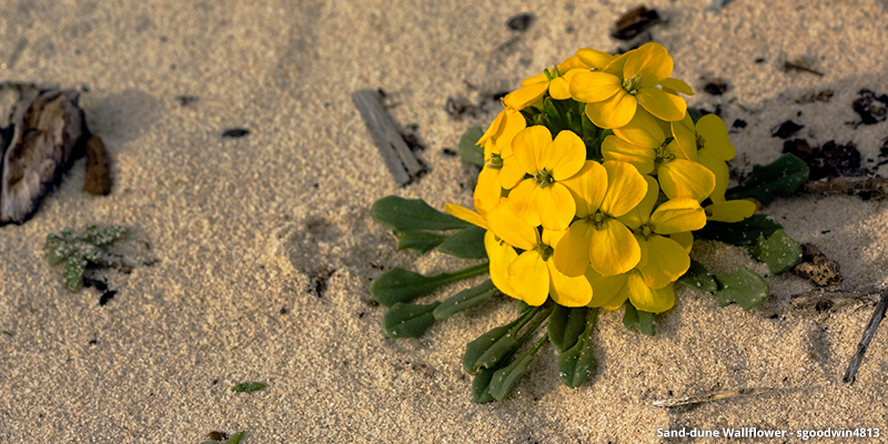 Sand-dune Wallflower