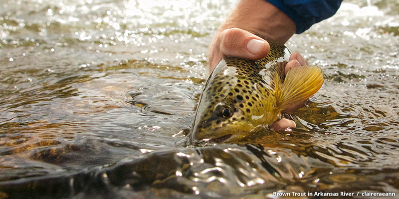 Brown Trout in Arkansas River