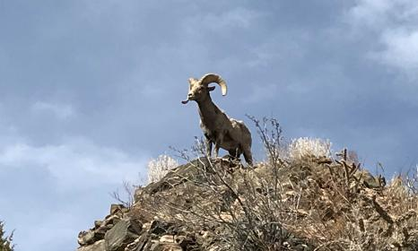 Bighorn Sheep seen on the Royal Gorge jeep tour.