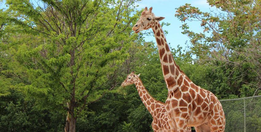 giraffes at a zoo