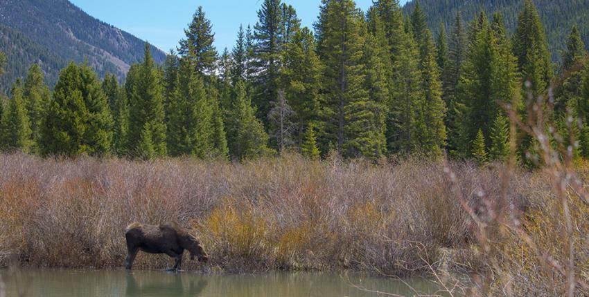 Moose in Keystone, Colorado