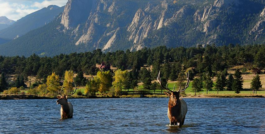Elk swimming in Estes Park, Colorado