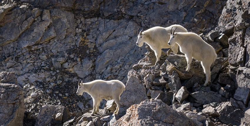 Mountain Goats in Georgetown, Colorado